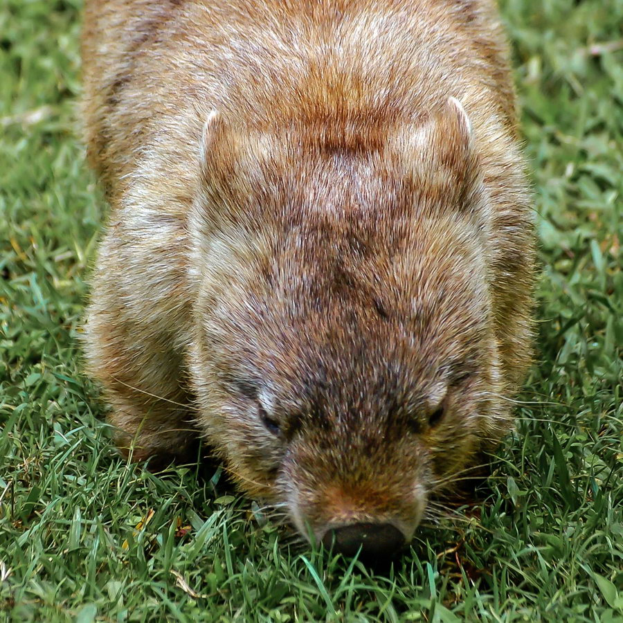 young brown wombat walking vertical